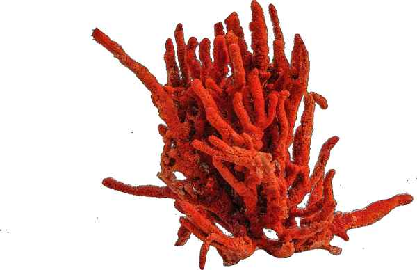 Red coral could very well be the most cherished type